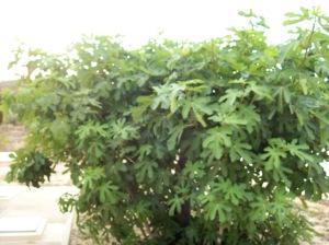 13d Fig Tree