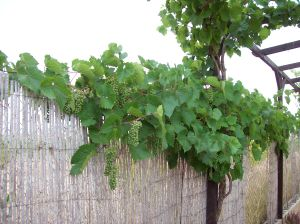 13h Young Grapes