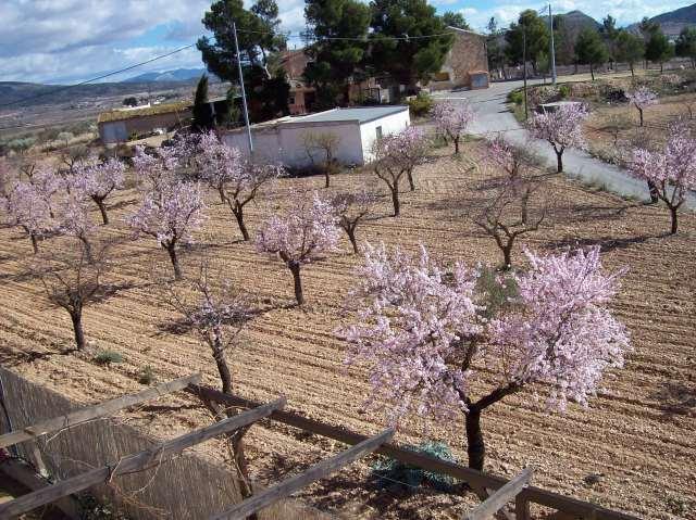 9b Almonds in flower 11.02.07