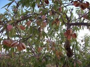 20a Almond Tree