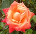 Chris Rose Orange