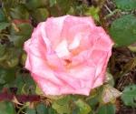 Chris Rose Pink