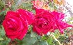 Chris Rose Red